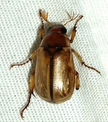 Sca Rut Ano: Anomala sp. (margarethe brummermann) Tags: arizona wb infestation coleoptera scarabaeoidea