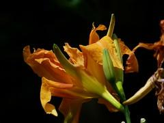 Flower Power Jaune (Daniel.35690) Tags: portrait macro fleurs jaune lumix souvenirs bretagne panasonic amour promenade belle amis plaisir flowerpower ballade dmc 2012 regard rencontre repos beauregard passé bonsaï détente parcfloraldehautebretagne fougeres volontaire illevilaine fz45 quefairelesamedisoir âmehumaine flickrsfinestimages1