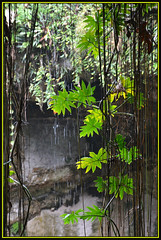 Cenote Vines (Photographic Poetry) Tags: water mexico vine well cenote ikkil sacredbluewell