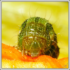 Caterpillar (bigmike.it) Tags: orange macro verde nature yellow closeup bug eating details flash tube natura caterpillar giallo dettagli extension 12 20 36 arancio gree mangia bruco mygearandme