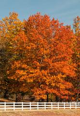 Roadside Beauty (Happy Photographer) Tags: autumn tree fence nikon fallcolor arkansas d300 happyphotographer