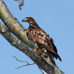 Young eagle (Jan Whybourne) Tags: winter snow bird ice rock eagle