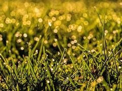 Field of Bokeh (Tewmom) Tags: macro grass bokeh beyondbokeh epl5 olympus60mm