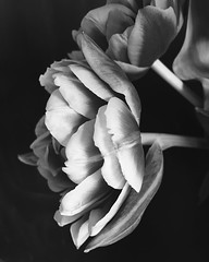 love all the layers. Happy Tuesday (life stories photography) Tags: blackandwhite stilllife flower square tulips may squareformat iphone 2016 iphoneography instagramapp uploaded:by=instagram