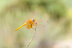 Trithemis kirbyi (male) (Teo Martnez (temege)) Tags: summer orange naturaleza male nature yellow agua alicante amarillo verano balsa macho naranja liblulas trithemis odonatos kirbyi
