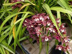 Cymbidium Mimi 'Mary Bea' hybrid orchid 4-16 (nolehace) Tags: sanfrancisco plant orchid flower spring bea mary mimi bloom hybrid cymbidium 416 nolehace fz1000