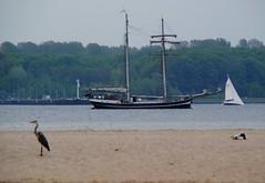 Fischreiher 3/3 (   flickrsprotte  ) Tags: strand wasser ente mwe ostsee kiel segelschiff fischreiher falckenstein flickrsprotte