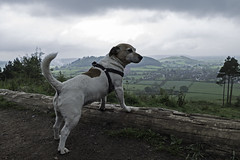 A Dog And A View - 52 Weeks For Dogs,20/52 (me'nthedogs) Tags: jrt somerset terrier snaps jackrussell 2052 poldenhills 52weeksfordogs