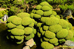 Japanese Tea Garden (dalecruse) Tags: sanfrancisco california green nature japan garden japanese japanesegarden tea japaneseteagarden teagarden lightroom