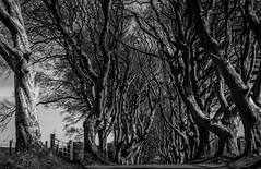 The Dark Hedges. (ian.emerson36) Tags: trees ireland game canon blackwhite spooky thrones ballymoney hedges