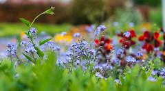 IMG_0281 (::nicolas ferrand simonnot::) Tags: auto blue paris color field yellow 35mm vintage lens prime purple blossom bokeh mount mc h m42 manual f18 depth   weitwinkel 2016 porst flowergreen