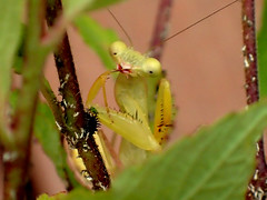 And There's the Next Course! (bugldy99) Tags: mantis insect african predator arthropoda assassin mantid arthropod hexapod insecta hexapoda mantidae sphodromantis