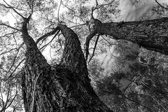 Three tall trees (LSydney) Tags: trees blackandwhite bw monochrome three blackwhite gumtree manlydam redbloodwood corymbiagummifera