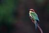 Sunrise bird (Pascal Bernardin) Tags: chestnutheadedbeeeater meropsleschenaulti guêpierdeleschenault