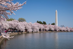 Le printemps a Washington (Seb & Jen) Tags: usa flower fleur cherry washington districtofcolumbia unitedstates blossom obelisk cerisier tidalbasin obelisque tatsunis