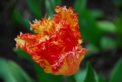 Study of Tulip (petrk747) Tags: flower travelling green nature garden flora village outdoor country study tulip slovakia countriside roztoky easternslovakia saariysqualitypictures