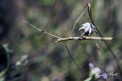 Bicho Palo (javiblue25) Tags: espaa naturaleza flores insectos macro zaragoza bichos macrofotografa