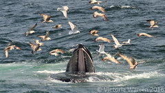 Humpback bubble-net feeding (Vicktrr) Tags: sea white net birds tongue mouth feeding dolphin provincetown gulls watch bank atlantic bubble cape whale humpback cod hyannis baleen sided barnstable bubblenet rorqual stellwagen novaeangliae jaegar megaptera lagenorhynchus