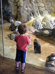 "Paul Watches Penguins at the Kansas City Zoo • <a style=""font-size:0.8em;"" href=""http://www.flickr.com/photos/109120354@N07/27243963063/"" target=""_blank"">View on Flickr</a>"