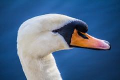 Beauty (John Garfield-Roberts) Tags: swan bird lake greenbank park liverpool sunset grace merseyside