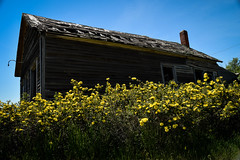 Yellow Roses (cutthroatsrule) Tags: roses house yellow rural montana prairie molt
