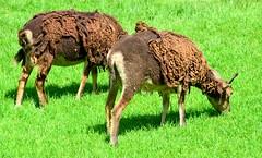 (26/52/2016) '2U' (popEstatesPhotography) Tags: wild brown green wool st sheep grazing kilda woburn soay ewe 52weeksthe2016edition week262016 weekstartingfridayjune242016