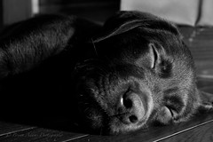 Tired puppy (Bryan Adams Photography) Tags: puppy labrador chocolate retriever labradorretriever