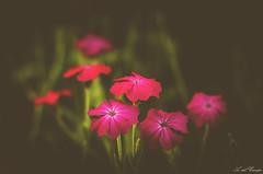 flores (A. del Campo) Tags: flowers light naturaleza flores verde luz nature nikon shadows dof bokeh naturallight nikkor mate sombras deepoffield luznatural nikond7000
