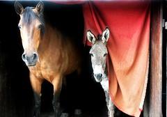 ~~Deux petites et deux grandes oreilles !!~~ (Jolisa) Tags: two horse rouge cheval donkey deux porte ninon rideau elisa ne oreilles jument juin2016