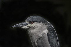 Black-crowned Night Heron (YuccaYellow) Tags: pink wild portrait white black bird heron nature closeup night dark grey eyes nikon dof bc background wildlife handheld f28 vr detailed 400mm blackcrowned nycticorax