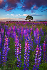 The Purple field (Lukjonis) Tags: ifttt 500px landscape colors flowers blue purple evening light lupines summer photography vertical shot amazing colorful lithuania field tree horizon sharp composition