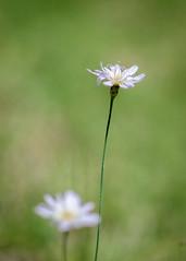 Otras flores ms (ruimc77) Tags: flower verde green mxico mexico nikon dof bokeh flor 85mm nikkor huasca ocampo f14d d810 higaldo