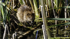Muskrat (Bob Gunderson) Tags: california northerncalifornia wildlife marincounty mammals muskrat northbay lasgallinas