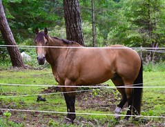 The stare down, HFF (shireye) Tags: horse fence bc britishcolumbia vancouverisland ff comoxvalley fencefriday