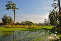 Rice Field- Khmer Cruiser.jpg