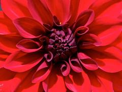 Natures perfection (Deb Jones1) Tags: flowers red flower nature beauty canon garden botanical outdoors flora blooms dalhia flickrawards debjones1