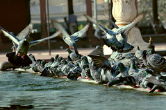 Jama Masjid (ankit6k2) Tags: pigeons