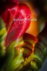 Tulpe (Katrin Petzoldt) Tags: makrofotografie