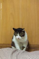 Wicked Face No.2 / Tokyo, Japan (yameme) Tags: travel pet japan cat canon eos tokyo jerry  shinagawa   meguro    nishikoyama 24105mmlis   5dmarkii 5d2