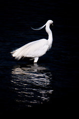 Little Egret on black background (origine1) Tags: deleteme5 deleteme8 white black deleteme deleteme2 deleteme3 deleteme4 deleteme6 bird deleteme9 deleteme7 deleteme10 marais oiseau littleegret egrettagarzetta lecroisic guérande croisic aigrettegarzette salants yourockwinner