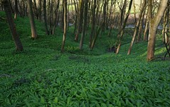 Wild garlic in Tom wood (Greg.w2) Tags: wood uk wild england sunlight tree english tom woodland march spring shadows derbyshire sony garlic greenery 2012 charlesworth ransoms nex5n