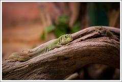 IMG_9723_640 (MrOV3RDOSE) Tags: france animaux reptiles zoos beauvoir bassenormandie reptilarium