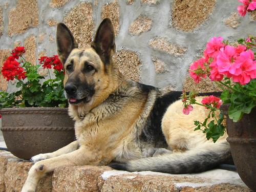German shepherd PERLA- Pastor alemán entre flores