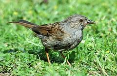 DSC_0646 (PeaTJay) Tags: dunnock sparrow wren gardenbirds
