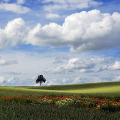 light and shadows (pierre hanquin) Tags: flowers blue light shadow sky cloud sun flower color colour tree green nature fleur colors field clouds fleurs landscape geotagged rouge soleil spring nikon europa europe colours belgium belgique cloudy couleurs champs belgië vert clear bleu ciel poppy poppies fields grün blau nuage nuages paysage landschaft arbre printemps couleur liège wallonie coquelicots 1685 pavots hannut 1685mm d7000 1685mmf3556gvr mygearandme mygearandmepremium mygearandmebronze mygearandmesilver mygearandmegold mygearandmeplatinum mygearandmediamond dblringexcellence tplringexcellence hanquin