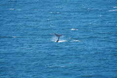 "More Whales in False Bay • <a style=""font-size:0.8em;"" href=""http://www.flickr.com/photos/34800309@N05/7413749862/"" target=""_blank"">View on Flickr</a>"