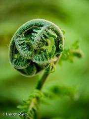 Fiddleneck (the1eye) Tags: fern macro santabarbara closeup fiddleneck simpsonhouseinn beyondbokeh