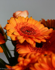 Deep Orange (David S Wilson) Tags: uk flowers orange floral studio gerbera ely 2012 ledlights astia lightingsetup june2012 profocusmode davidswilson fujifilmx10 adobelightroom4