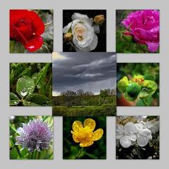 Si le 1er juillet est pluvieux ... (rockpainting  yvette) Tags: flowers collage fleurs pluie montage gouttes fujifilmfinepixs1000fd