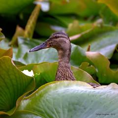 Duck in the lilies (Rednaxela13) Tags: bird canon eos duck pond wildlife lilies mallard burnhambeeches alexhughes 60d canoneos60d tamron70300mmvc alexanderhughes